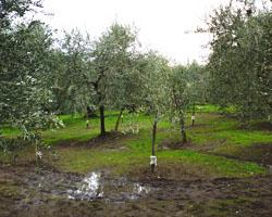 オリーブの実の水分を肥料にする