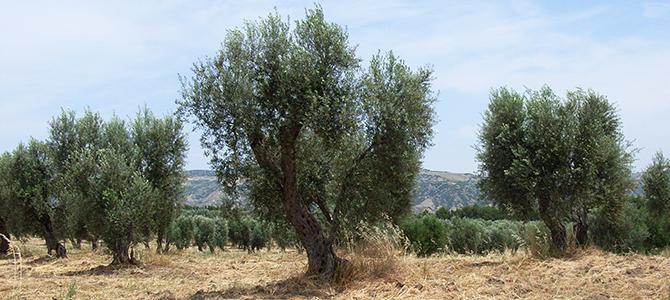 オリーブの有機栽培について