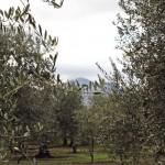 オリーブ畑から見える正面はモンテヴルトゥレ休火山