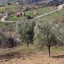 マテーラのオリーブ畑