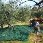 オリーブの実を集める為の網を敷く