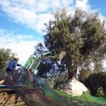 オリーブの木を揺らす