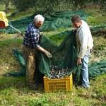 オリーブの実をカゴに入れる