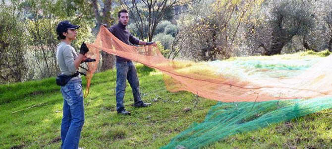 オリーブの収穫作業