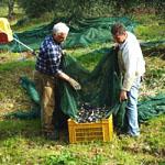 オリーブの実の収穫