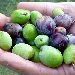 有機栽培のオリーブの果実(マイアーティアオリーブ)