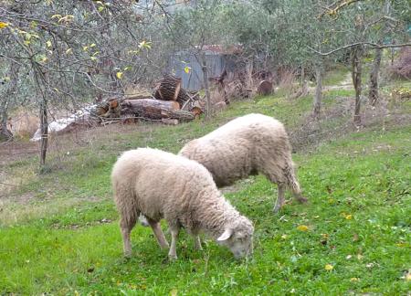 オリーブ畑の羊
