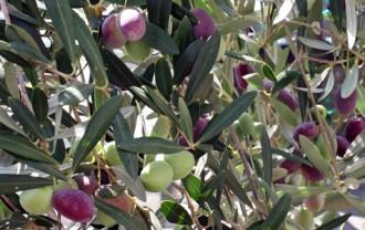 収穫間近のオリーブの実