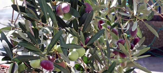 オリーブの実の収穫が近づいて来ました^^