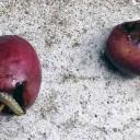 虫食いオリーブ