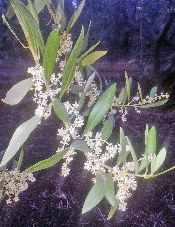 flower_olive_dibenga_2015