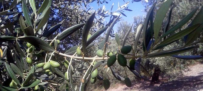 オリーブの実が育ってます