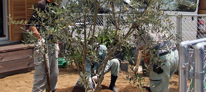 オリーブの木 ルッカ