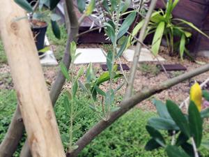 オリーブの新芽