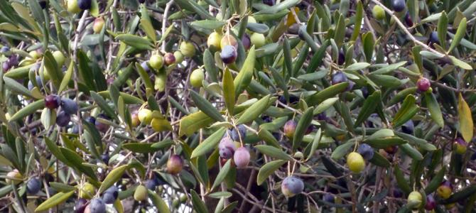 オリーブの収穫間近