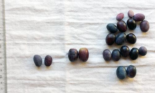 オリーブの実の大きさ比べ