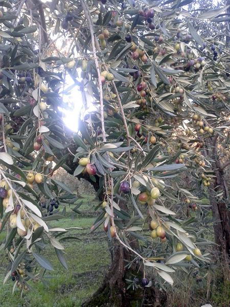 実がたわわなディベンガ農家のオリーブの木