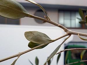 オリーブの花芽 ルッカ