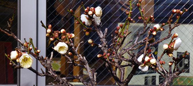 オリーブの花芽が出て来ました