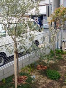 オリーブの木チプレッシーノ