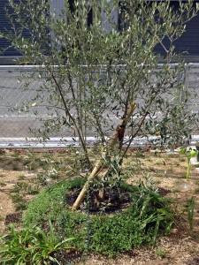 オリーブの木ールッカ
