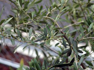 ネヴァディロブランコの花芽
