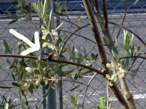 オリーブの花と蜂?
