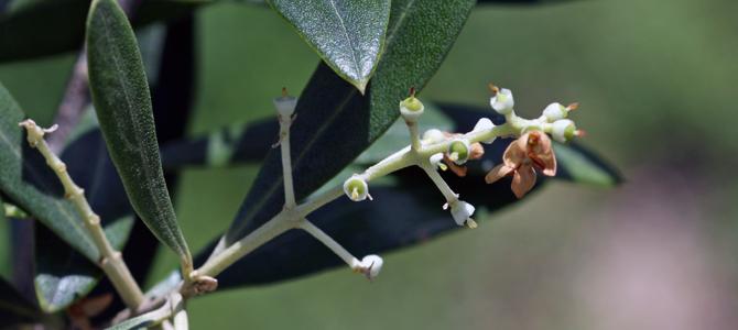 オリーブの開花、その後