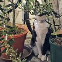 オリーブ植木