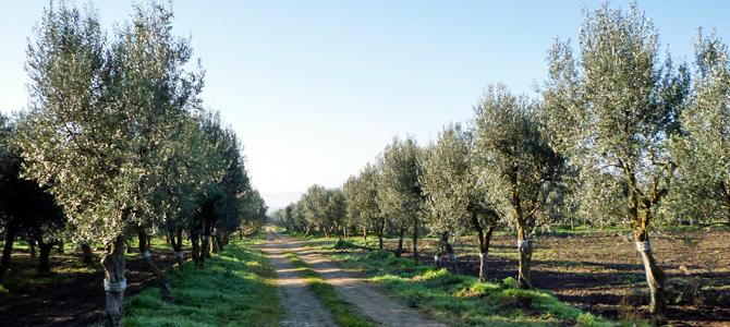 オリーブの種類3 チプレッシーノ