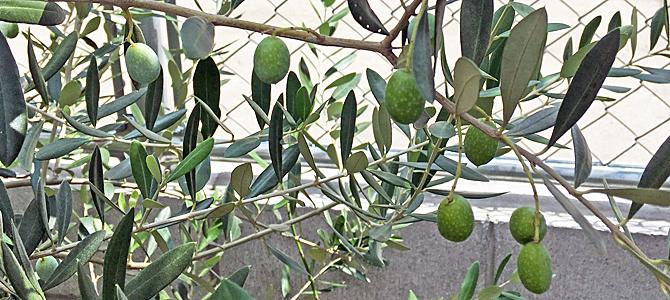 オリーブの種類2 フラントイオ