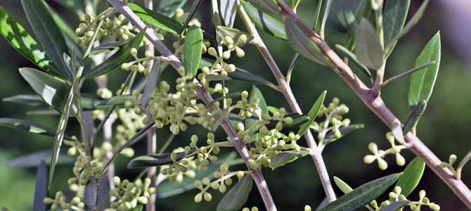 オリーブの種類4 コロネイキ