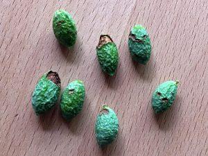 オリーブの実(虫食い)