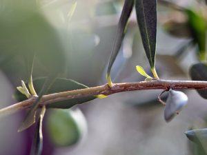 ルッカ(オリーブ)の新芽