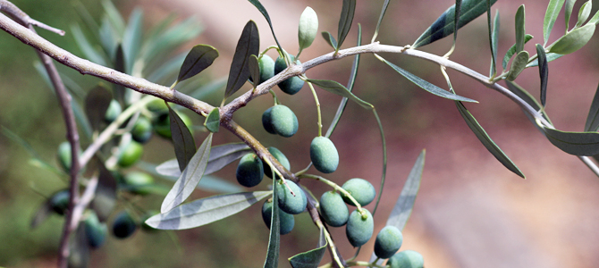 オリーブの種類1 ペンドリーノ