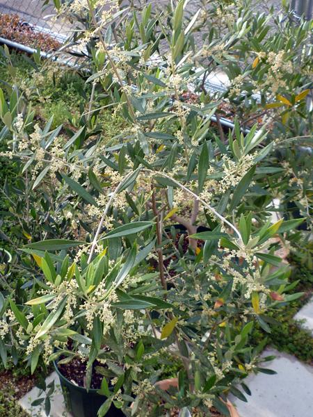 コロネイキの花
