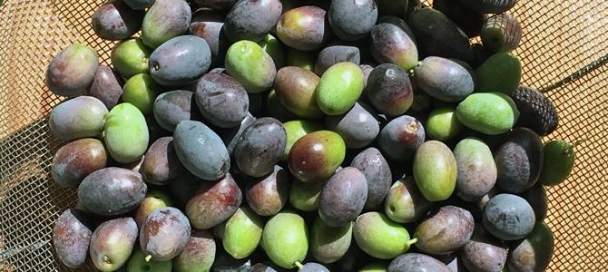 オリーブの収穫と渋抜き