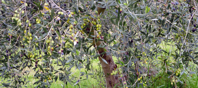 オリーブの種類8 アスコラーナ テレーナ