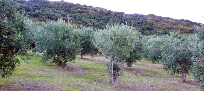 オリーブ年間管理(イタリアの栽培カレンダー)