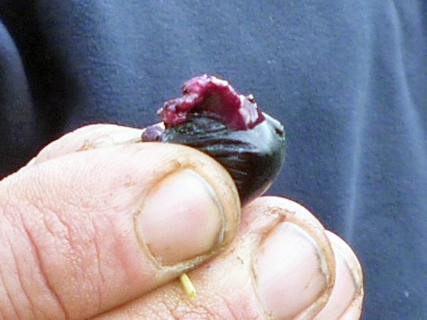 熟れたオリーブの実
