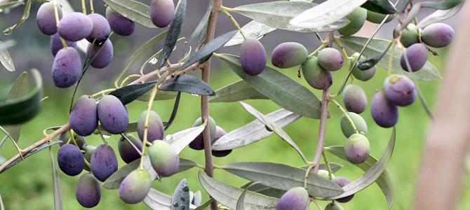 オリーブの収穫と渋抜き-2(今年のまとめ)