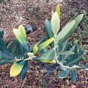 葉の先が黄色いオリーブ