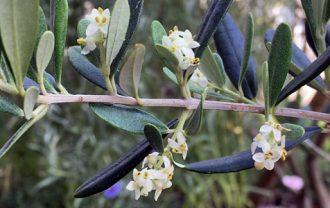 アスコラーナテレーナの花