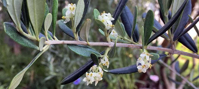 アスコラーナテレーナの花とポリフェノール