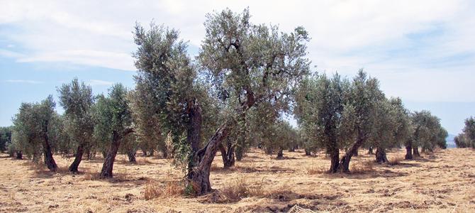 オリーブ生産農家/搾油所 ラチェルトーザのご紹介