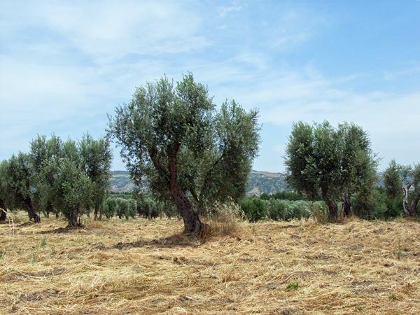 ラチェルトーザのオリーブ畑