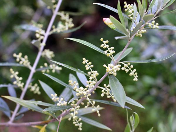 コロネイキの花芽