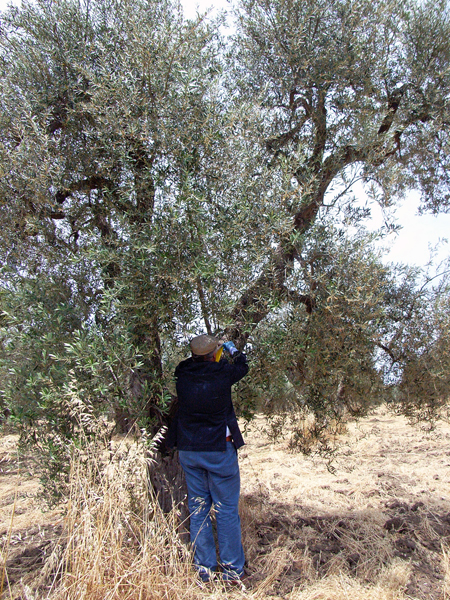オリーブの有機栽培