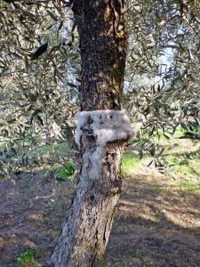 オリーブの木の虫の罠