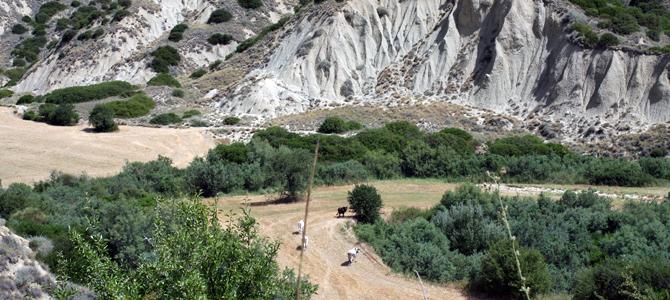 ポドリカ牛の放牧